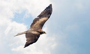 一只飞翔在空中的老鹰摄影高清图片