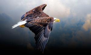 翱翔天空云层中的老鹰摄影高清图片