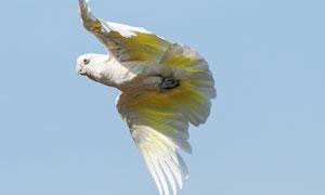 飞翔在空中的白色鹦鹉摄影高清图片