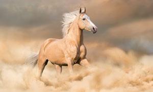 烟尘中奔腾的一匹骏马摄影高清图片