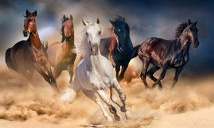 在竞相追逐的五匹骏马摄影高清图片