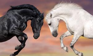 头顶着头的黑白两匹马摄影高清图片