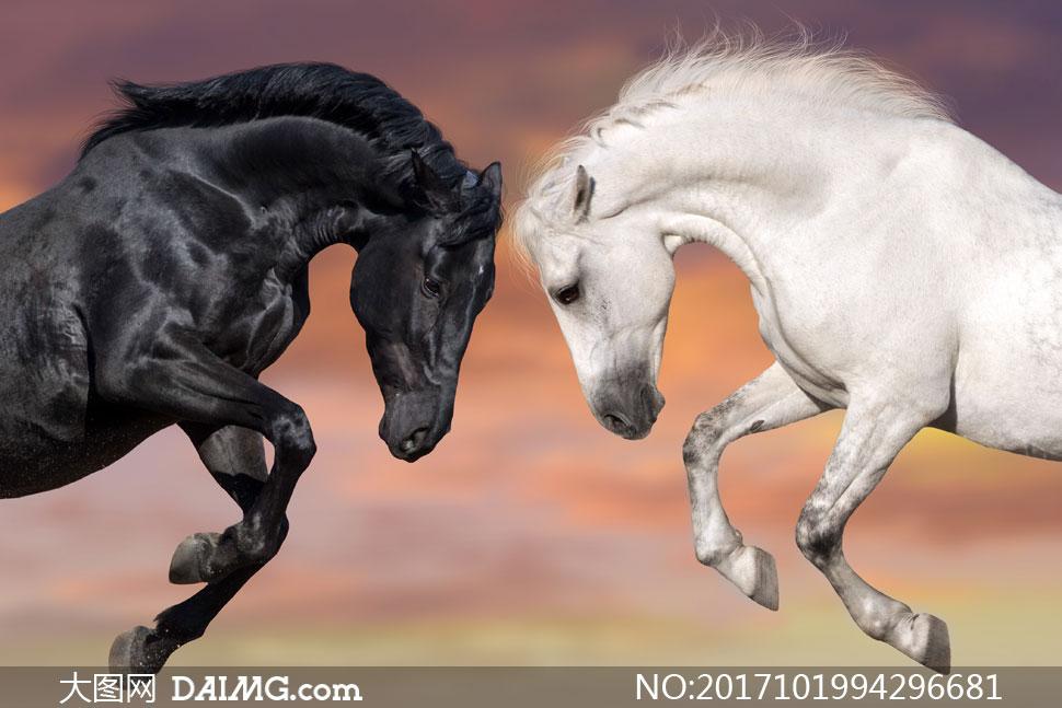 黑白两匹马摄影高清图片下载; 关 键 词: 高清图片大图素材摄影动物骏