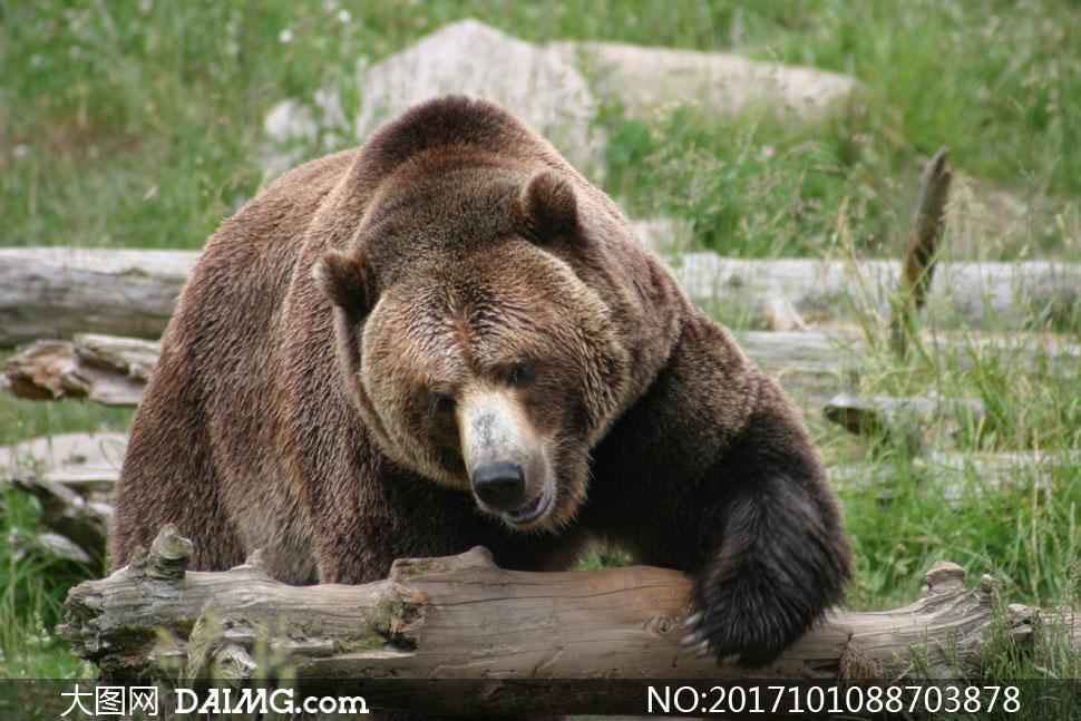 在翻着木头觅食的棕熊摄影高清图片