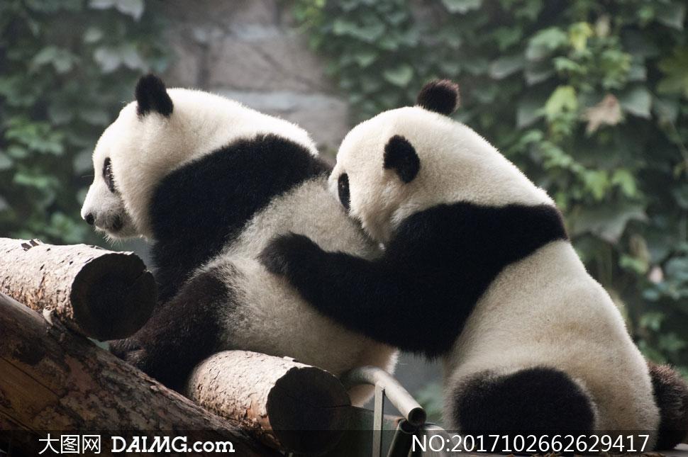在一起玩耍的两只熊猫摄影高清图片