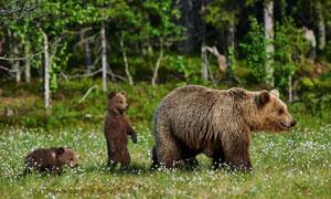 熊妈妈带领下的两只熊摄影高清图片