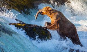 在山涧捕鱼觅食的棕熊摄影高清图片