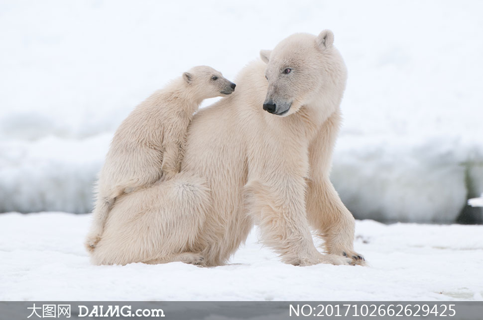 在雪地上的大小两只北极熊高清图片