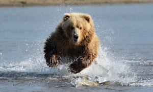 在水中捕鱼的棕熊特写摄影高清图片