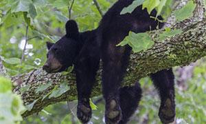 趴在树枝上的黑熊特写摄影高清图片