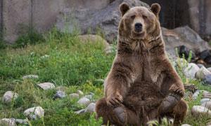 坐在乱石杂草中的棕熊摄影高清图片
