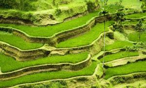 绿油油的梯田自然风光摄影高清图片