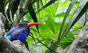 树上的爪哇翡翠鸟特写摄影高清图片