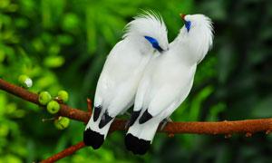 帮同伴整理羽毛的长冠八哥高清图片