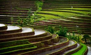 印尼巴厘岛的梯田景观摄影高清图片
