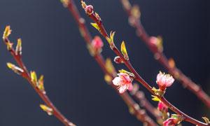 春天萌发出新芽的树枝摄影高清图片