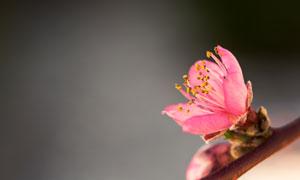 树枝上的一朵红色小花特写高清图片
