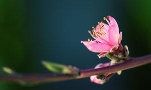 树枝上粉红色小花特写摄影高清图片