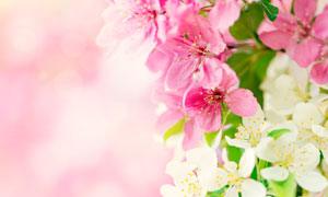 白色的与粉红色的花朵摄影高清图片