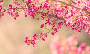 春天树枝上的鲜艳小花摄影高清图片