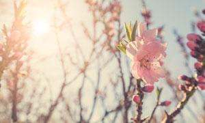 春天开着花的树枝逆光摄影高清图片