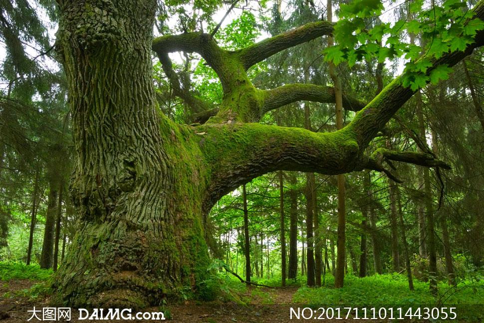关 键 词: 高清摄影大图图片素材自然风景风光大树树木茂密树林树枝