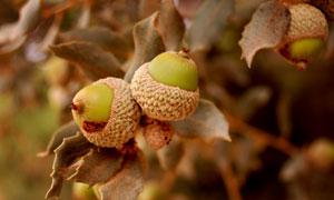栎树上的果实近景特写摄影高清图片