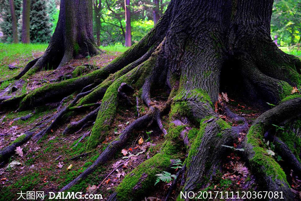 树根裸露着的大树特写摄影高清图片