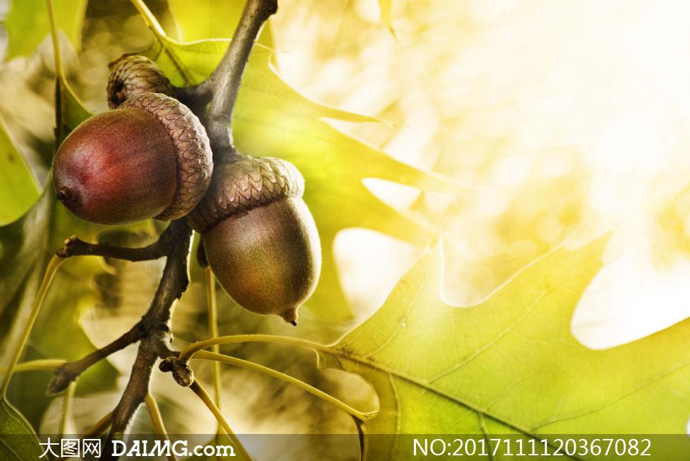 长在树枝上的橡果特写摄影高清图片