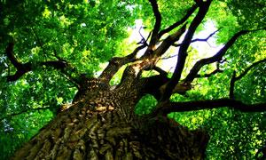 一棵参天大树仰拍视角摄影高清图片