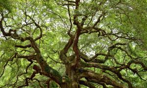 一棵枝繁叶茂大树风光摄影高清图片