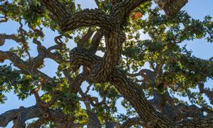 一棵树枝缠绕着的大树摄影高清图片