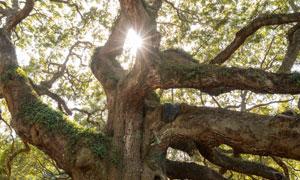 一棵枝叶延伸到很远的大树高清图片