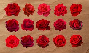 24款美丽的玫瑰花PS笔刷
