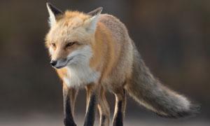 托着毛绒绒尾巴的狐狸摄影高清图片