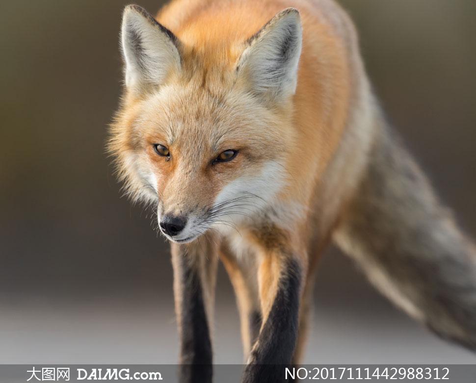 大图首页 高清图片 动物百态 > 素材信息          在野外的一只狐狸