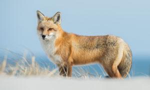 在野外的一只狐狸特写摄影高清图片