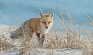 一只杂草丛映衬的狐狸摄影高清图片