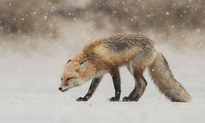 正冒着风雪觅食的狐狸摄影高清图片