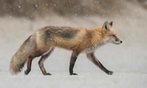 冬天雪地上行走的狐狸摄影高清图片