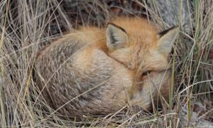 蜷缩成一团的狐狸特写摄影高清图片