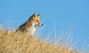 一只坐在高处的小狐狸摄影高清图片