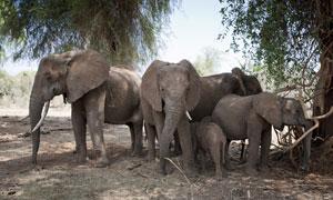 三五成群在一起的大象摄影高清图片