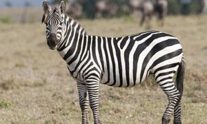 草原上形单影只的斑马摄影高清图片
