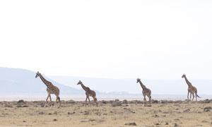 在四处觅食的长颈鹿们摄影高清图片