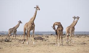 荒芜草原上的长颈鹿们摄影高清图片