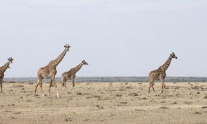 在赶往目的地路上的长颈鹿高清图片