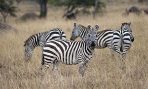 在荒草丛中的几匹斑马摄影高清图片