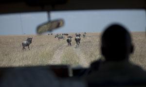 在车内看到的斑马牦牛摄影高清图片