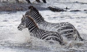 两匹在涉水过河的斑马摄影高清图片
